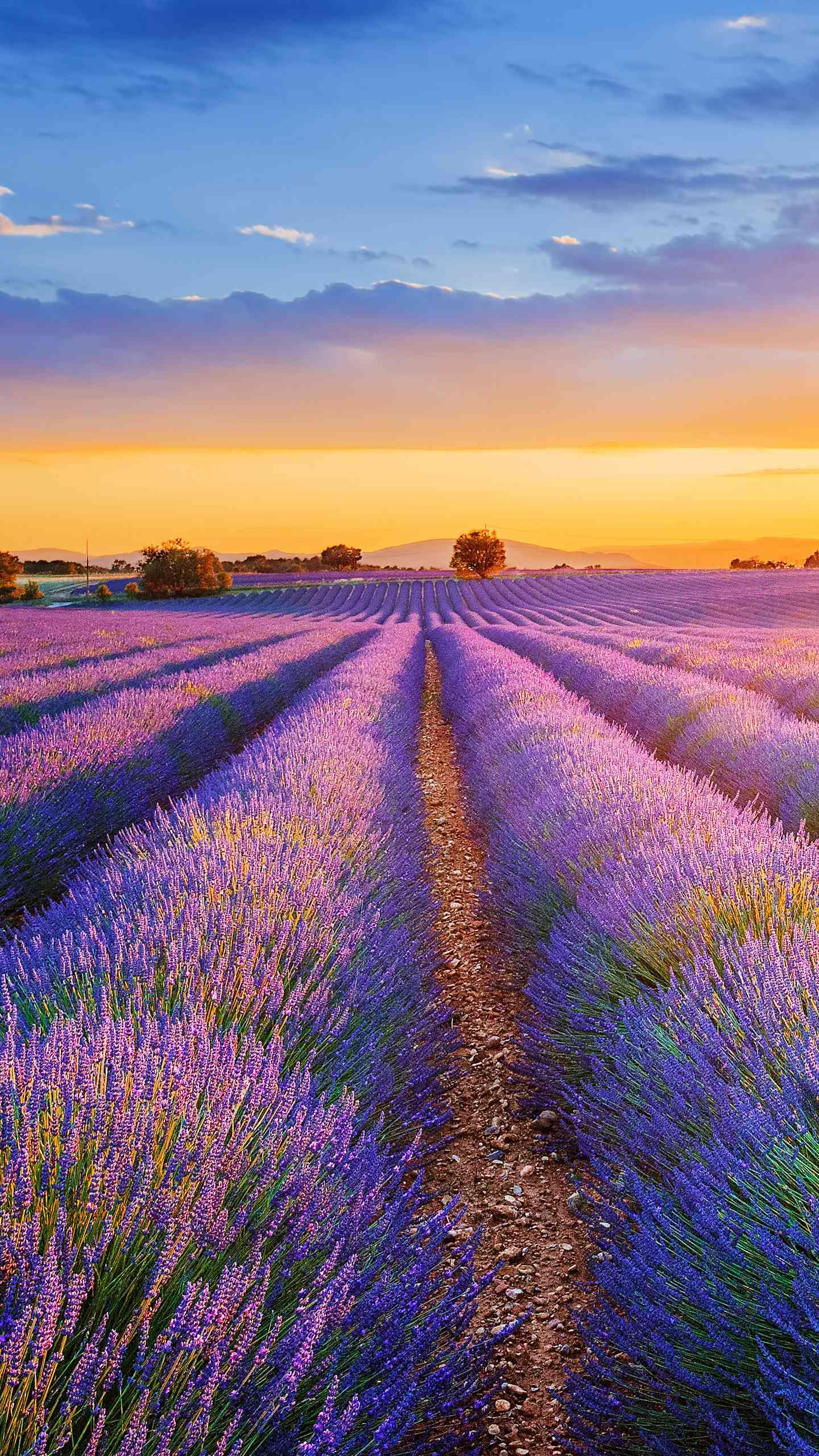 Lavender cultivation is complicated. How complicated is the planting work behind the beautiful lavender?
