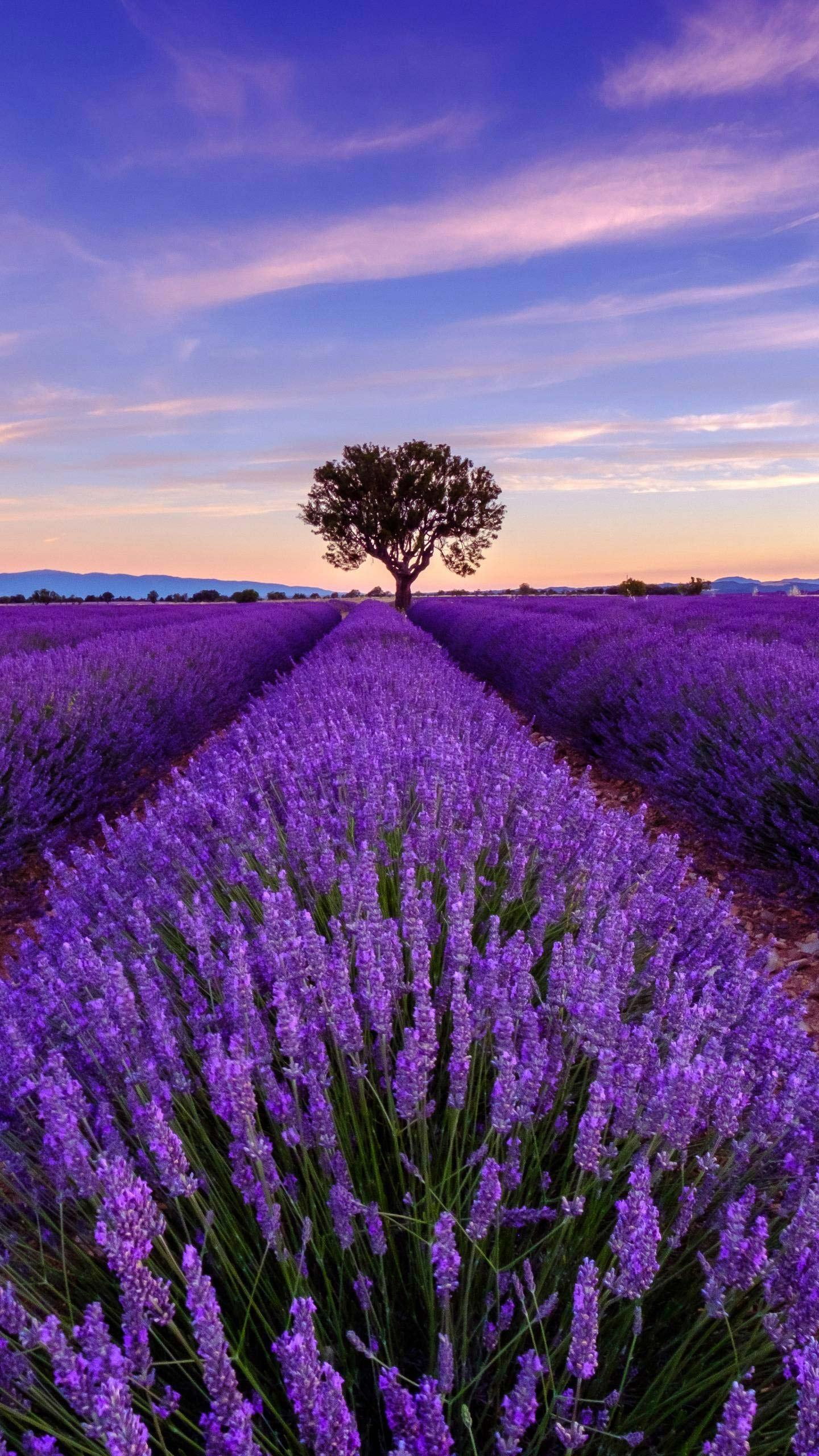"""Romantic Purple"" was drunk in the heart. Provence is the most desirable place in people's minds because of its unique charm and the romantic elements of lavender."
